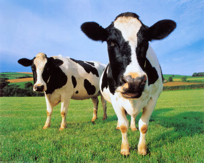 Close up of two cows