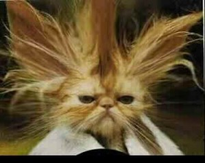 A cat with massive ears and extremely spastic hair
