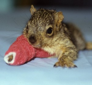 A baby squirrel with a pink cast on its arm