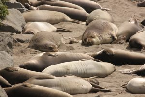 Image of many seals laying on the beach