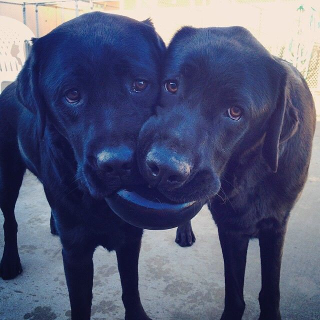 two black dogs share a toy